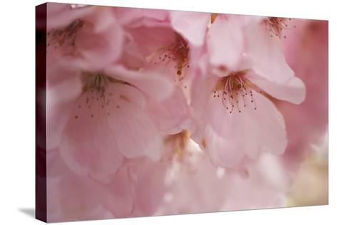 Cherry Blossoms I-Rita Crane-Stretched Canvas Print
