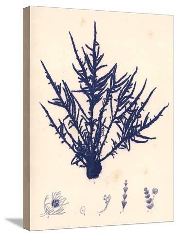 Blue Botanical Study II-Kimberly Poloson-Stretched Canvas Print