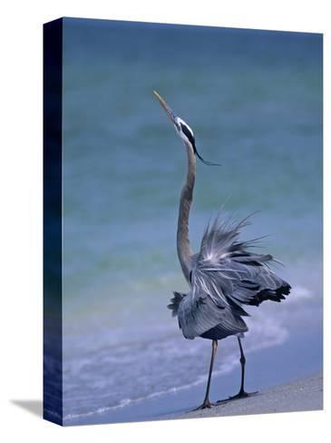 Great Blue Heron Threat Display, Ardea Herodias, North America-Arthur Morris-Stretched Canvas Print