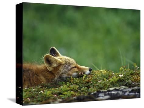 Red Fox-Chris Linder-Stretched Canvas Print