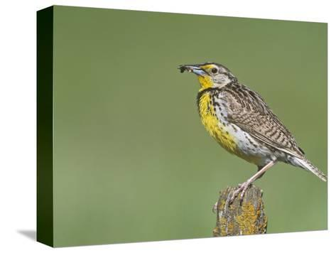 Western Meadowlark with an Insect in its Bill (Sturnella Neglecta), North America-Steve Maslowski-Stretched Canvas Print