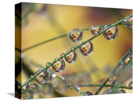 Autumn Leaves Reflected in Raindrops on Blades of Grass, Acadia National Park, Me-Adam Jones-Stretched Canvas Print