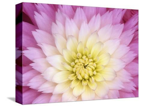 Close Up of a Dahlia Hybrid Flower, Gay Princess Variety-Wally Eberhart-Stretched Canvas Print