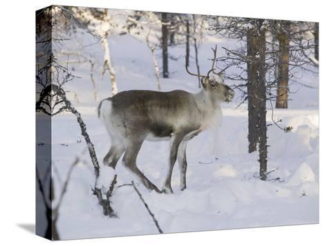 Reindeer Foraging in Northern Finland in Winter Near Saariselka-Ashley Cooper-Stretched Canvas Print