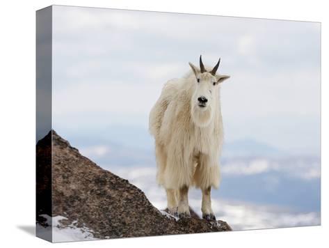 Mountain Goat (Oreamnos Americanus), Rocky Mountains, North America-John Cornell-Stretched Canvas Print