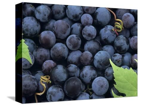 A Harvest of Juicy Concord Grapes (Vitis Labrusca)-Wally Eberhart-Stretched Canvas Print