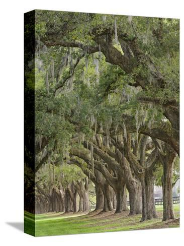 Stately Live Oak Trees Draped in Spanish Moss, Boone Hall Plantation, Mount Pleasant-Adam Jones-Stretched Canvas Print