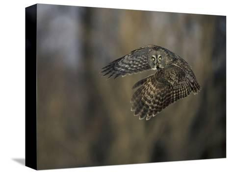 Great Gray Owl Flying at Dusk (Strix Nebulosa), North America-Joe McDonald-Stretched Canvas Print