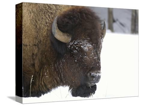 Bison Head (Bison Bison) in Snow, Yellowstone National Park, USA-Dave Watts-Stretched Canvas Print