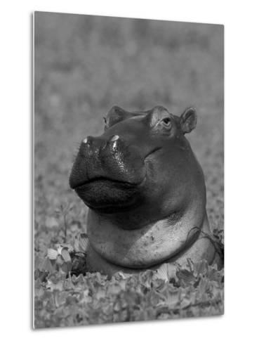 Hippopotamus Surrounded by Water Lettuce, Kruger National Park, South Africa-Tony Heald-Metal Print