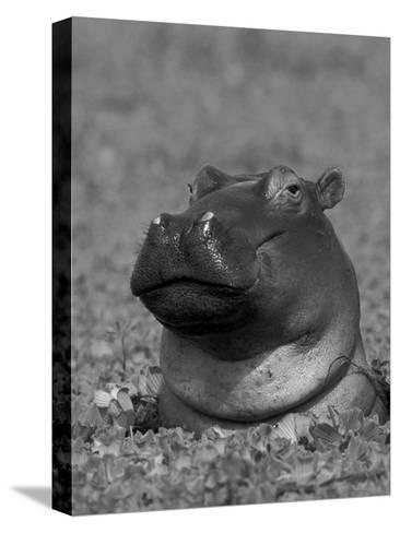 Hippopotamus Surrounded by Water Lettuce, Kruger National Park, South Africa-Tony Heald-Stretched Canvas Print
