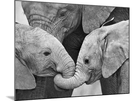 African Elephant Calves (Loxodonta Africana) Holding Trunks, Tanzania--Mounted Photographic Print