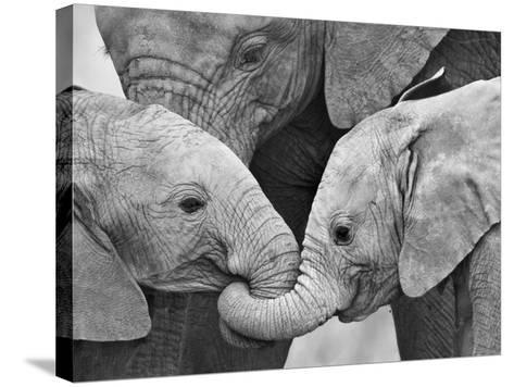African Elephant Calves (Loxodonta Africana) Holding Trunks, Tanzania--Stretched Canvas Print