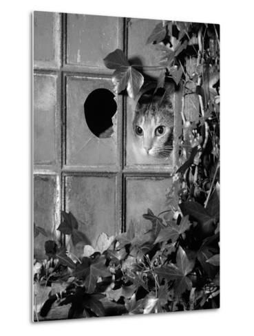 Tabby Tortoiseshell in an Ivy-Grown Window of a Deserted Victorian House-Jane Burton-Metal Print