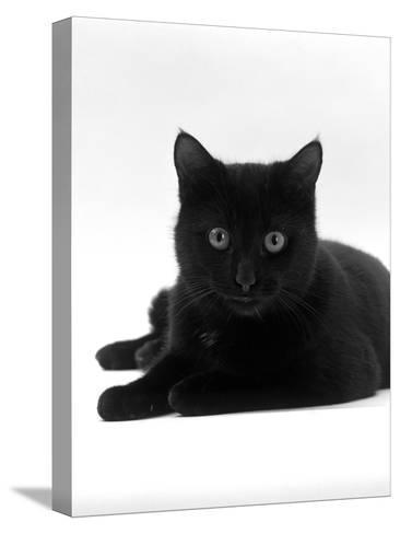 Domestic Cat, Young Black Male-Jane Burton-Stretched Canvas Print