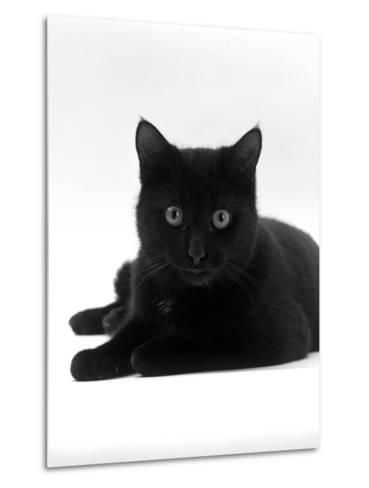 Domestic Cat, Young Black Male-Jane Burton-Metal Print