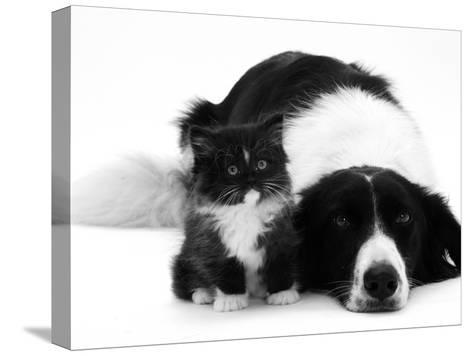 Black-And-White Border Collie Lying Chin on Floor with Black-And-White Kitten-Jane Burton-Stretched Canvas Print