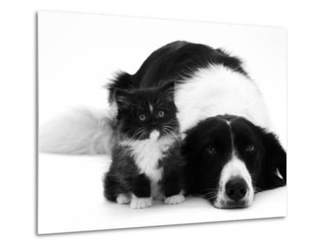 Black-And-White Border Collie Lying Chin on Floor with Black-And-White Kitten-Jane Burton-Metal Print