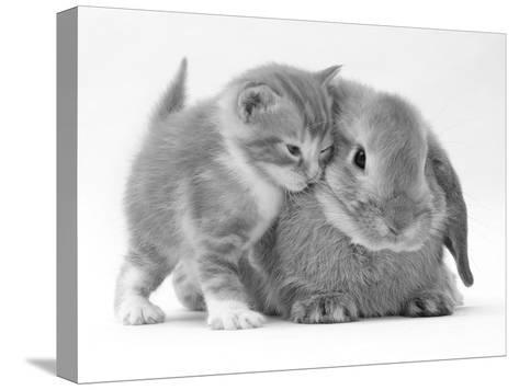 Domestic Kitten (Felis Catus) Next to Bunny, Domestic Rabbit-Jane Burton-Stretched Canvas Print