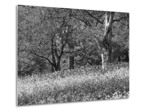 Bluebells in Woods, Springtime-Jon Arnold-Metal Print