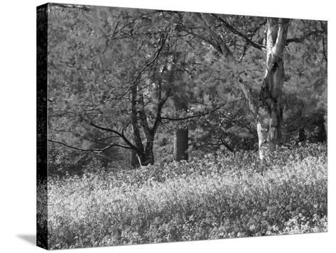 Bluebells in Woods, Springtime-Jon Arnold-Stretched Canvas Print
