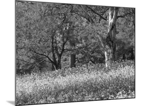 Bluebells in Woods, Springtime-Jon Arnold-Mounted Photographic Print