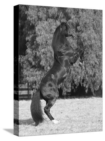 Bay Azteca (Half Andalusian Half Quarter Horse) Stallion Rearing on Hind Legs, Ojai, California-Carol Walker-Stretched Canvas Print