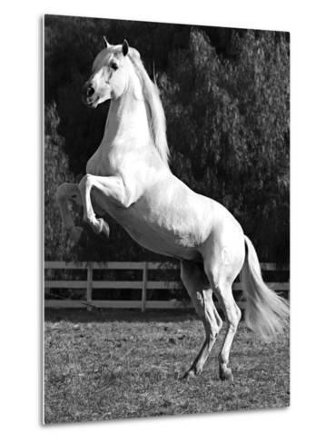 Grey Andalusian Stallion Rearing on Hind Legs, Ojai, California, USA-Carol Walker-Metal Print