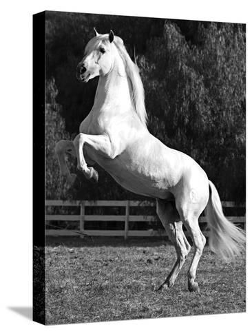 Grey Andalusian Stallion Rearing on Hind Legs, Ojai, California, USA-Carol Walker-Stretched Canvas Print