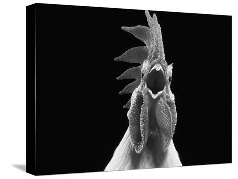 Domestic Chicken, White Leghorn Cockerel Crowing-Jane Burton-Stretched Canvas Print