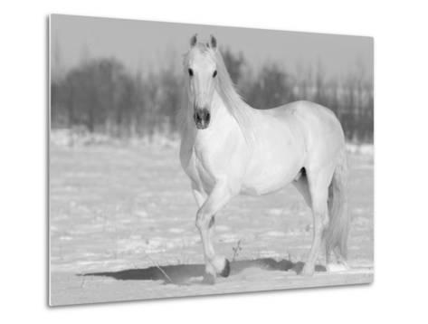 Grey Andalusian Stallion Portrait in Snow, Longmont, Colorado, USA-Carol Walker-Metal Print