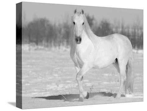 Grey Andalusian Stallion Portrait in Snow, Longmont, Colorado, USA-Carol Walker-Stretched Canvas Print