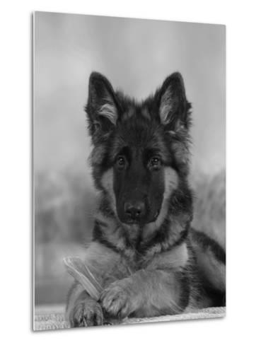 Domestic Dog, German Shepherd Alsatian Juvenile. 5 Months Old, with Rawhide Bone-Petra Wegner-Metal Print