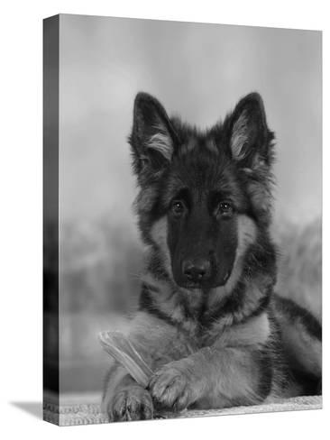 Domestic Dog, German Shepherd Alsatian Juvenile. 5 Months Old, with Rawhide Bone-Petra Wegner-Stretched Canvas Print