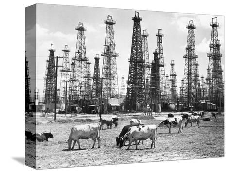 Cows Grazing near Oil Wells--Stretched Canvas Print