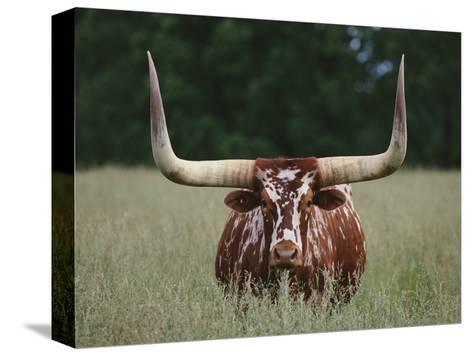 Longhorn Watusi Mix-DLILLC-Stretched Canvas Print