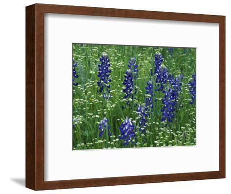 Texas Bluebonnet and Wild Buckwheat, Texas, USA-Claudia Adams-Framed Art Print