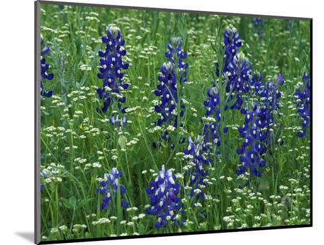 Texas Bluebonnet and Wild Buckwheat, Texas, USA-Claudia Adams-Mounted Photographic Print