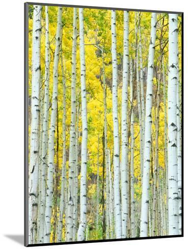 Aspen Grove, White River National Forest, Colorado, USA-Rob Tilley-Mounted Photographic Print