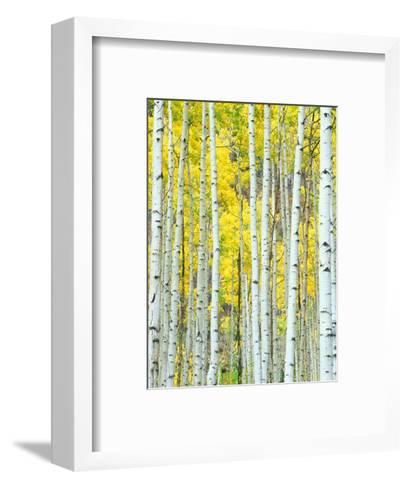 Aspen Grove, White River National Forest, Colorado, USA-Rob Tilley-Framed Art Print