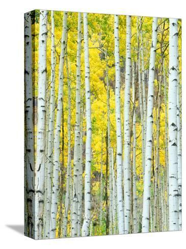 Aspen Grove, White River National Forest, Colorado, USA-Rob Tilley-Stretched Canvas Print