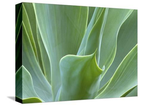 Agave Plant, Maui, Hawaii, USA-Julie Eggers-Stretched Canvas Print