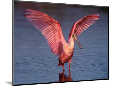 Roseate Spoonbill with Wings Spread-Charles Sleicher-Mounted Photographic Print