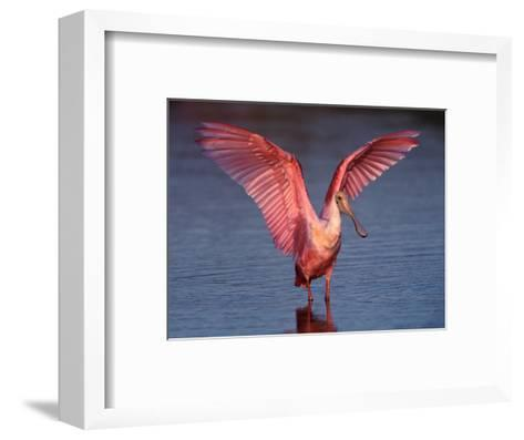 Roseate Spoonbill with Wings Spread-Charles Sleicher-Framed Art Print