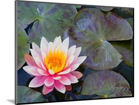 Water Lilies in Pool at Darioush Winery, Napa Valley, California, USA-Julie Eggers-Mounted Photographic Print
