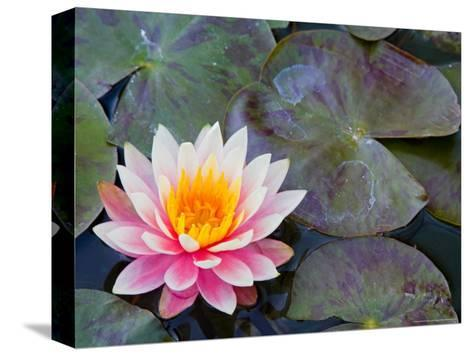 Water Lilies in Pool at Darioush Winery, Napa Valley, California, USA-Julie Eggers-Stretched Canvas Print