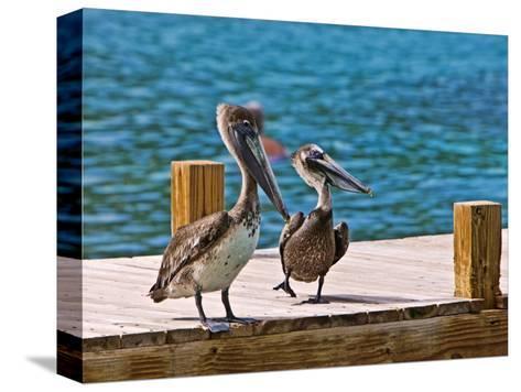 Brown Pelican-Joe Restuccia III-Stretched Canvas Print