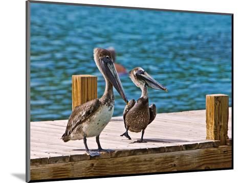 Brown Pelican-Joe Restuccia III-Mounted Photographic Print