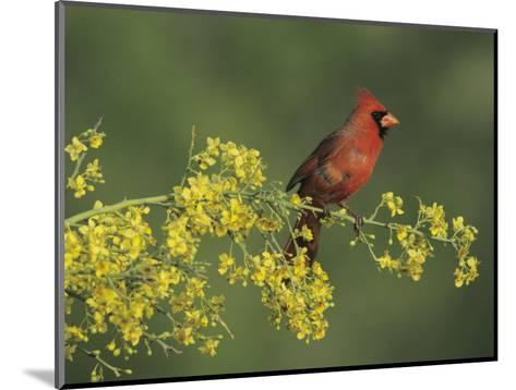 Northern Cardinal on Blooming Paloverde, Rio Grande Valley, Texas, USA-Rolf Nussbaumer-Mounted Photographic Print