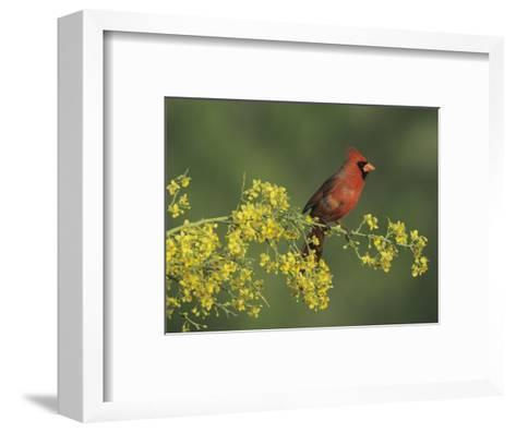 Northern Cardinal on Blooming Paloverde, Rio Grande Valley, Texas, USA-Rolf Nussbaumer-Framed Art Print